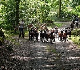Geiten, hoeden, kind, bos, Frankrijk, herder