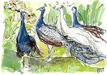 P2_four peacocks.jpg