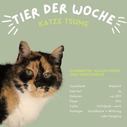 Katzendame Tsume ist schüchtern und verschmust