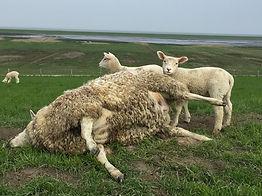 Schafe schubsen kann Leben retten