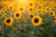 sunflower-3550693_1280.jpg