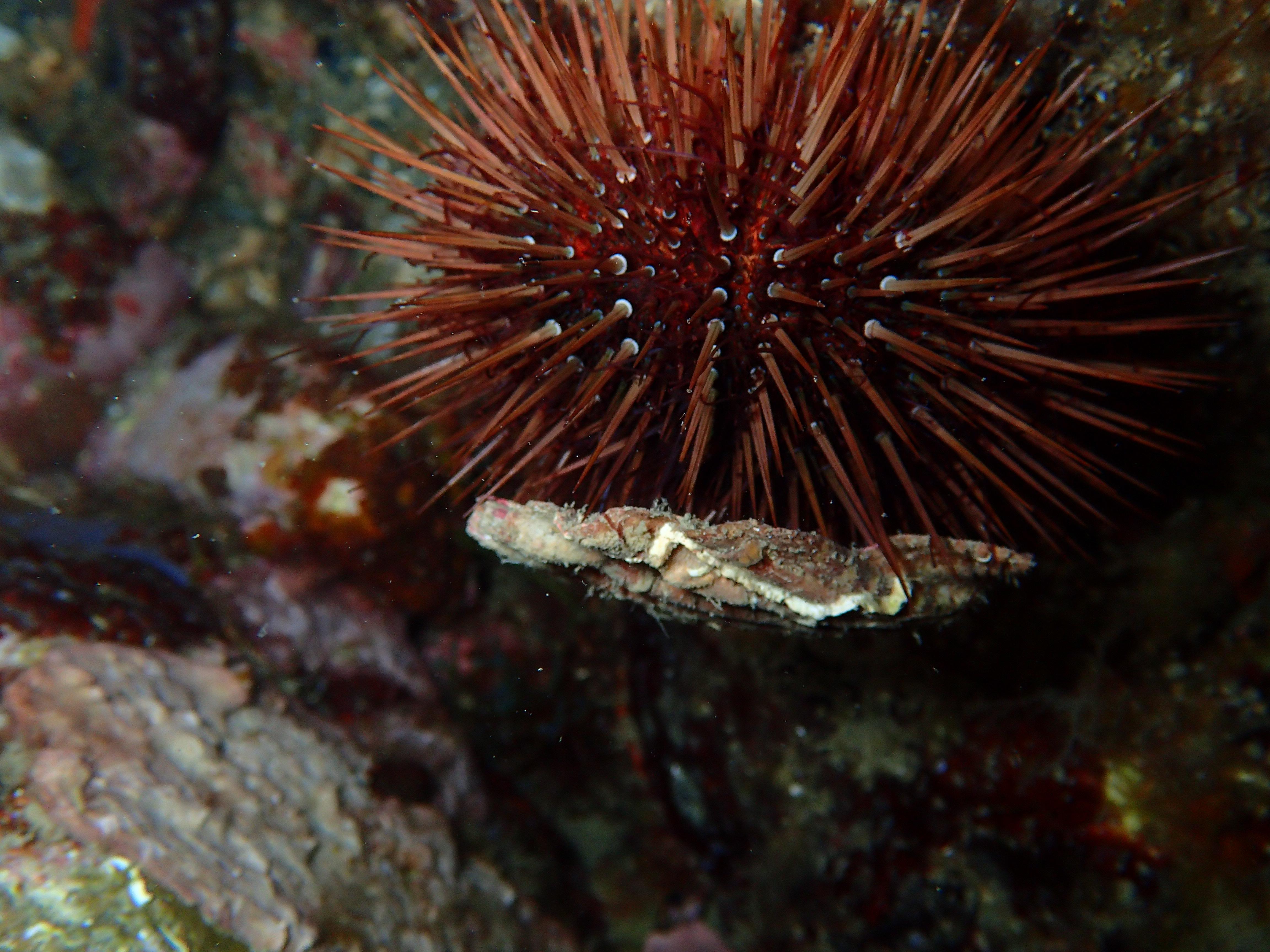Oursin Nocturne - Aquablue - Banyuls-sur