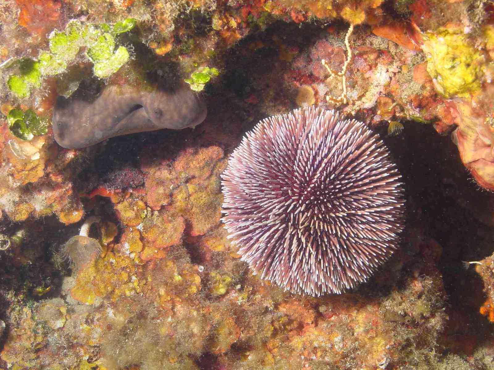 Oursin Violet - Aquablue - Banyuls-sur-m