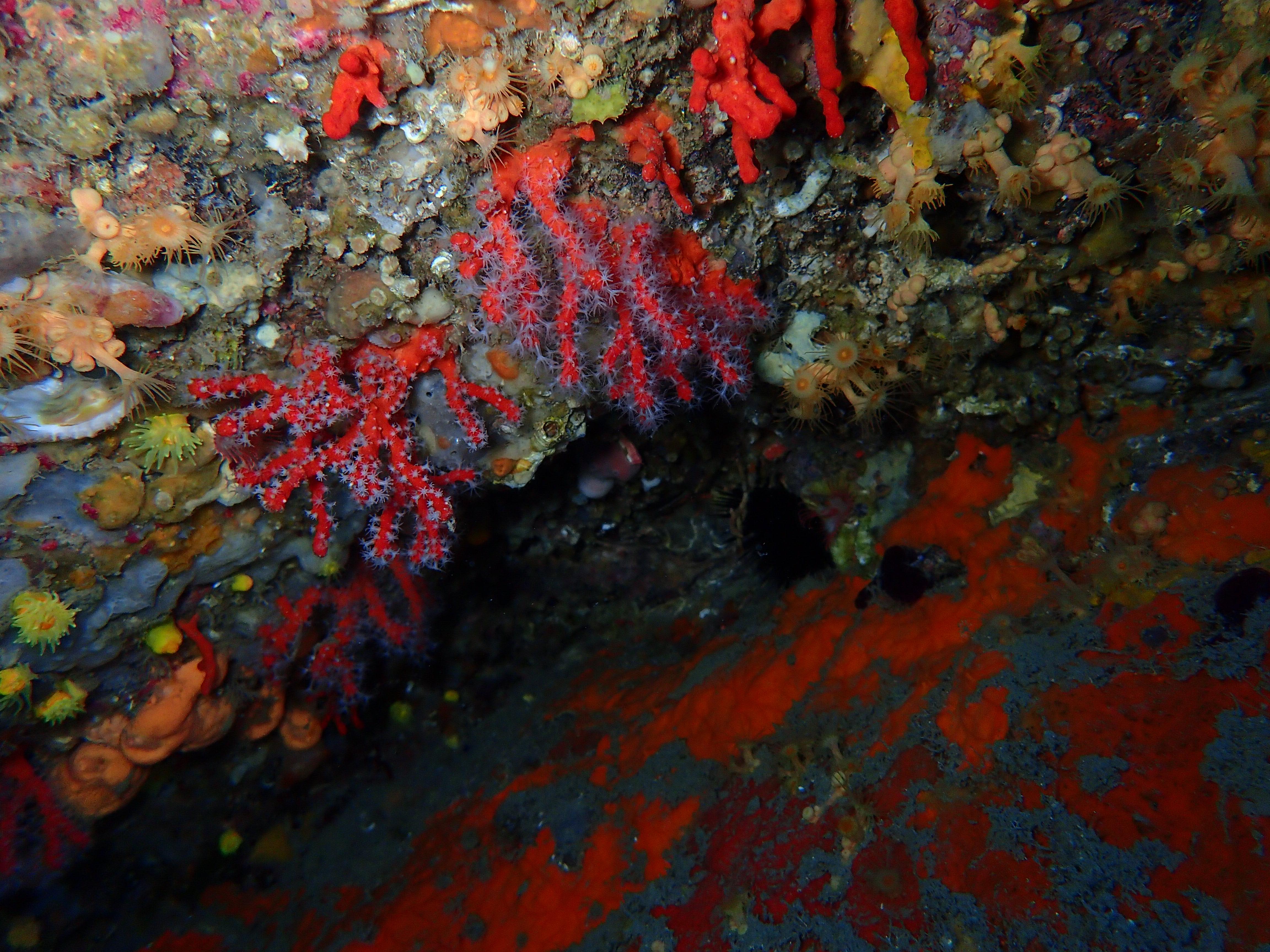 Corail Rouge - Aquablue - Banyuls-sur-me