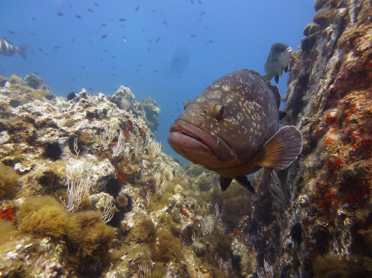 Mérou brun - Aquablue - Banyuls-sur-mer.