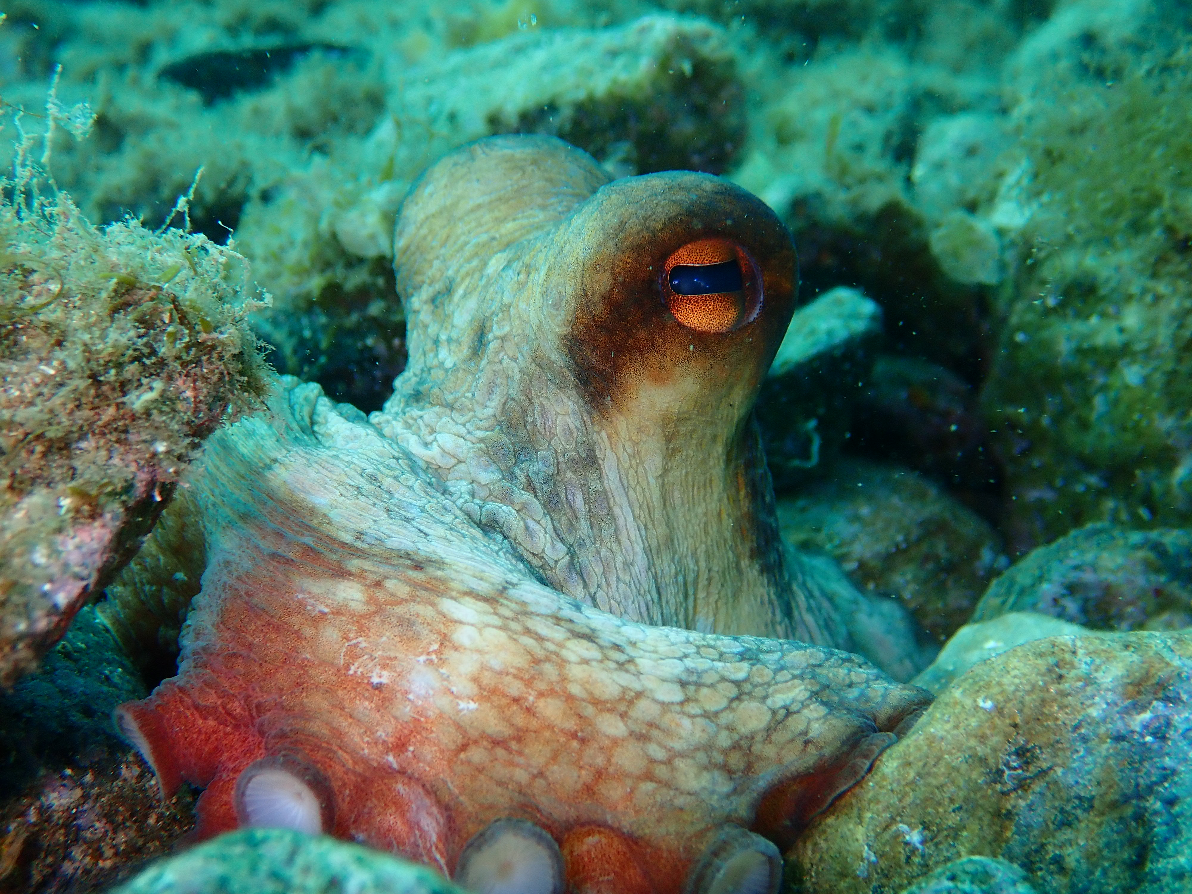 Poulpe - Aquablue - Banyuls-sur-mer