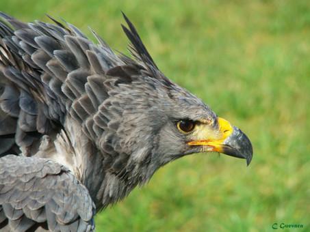 Acciones de mitigación en tendidos eléctricos para evitar electrocución de águilas coronadas