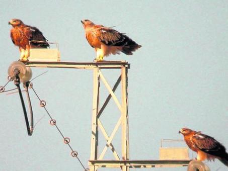 Cómo frenar la matanza de aves en las torres y cables de alta tensión