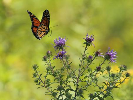 La mariposa Monarca, símbolo de la salud de los ecosistemas