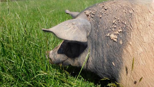 Hog Attack