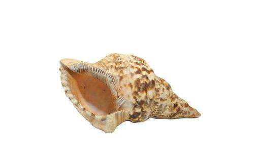 Concha Natural G