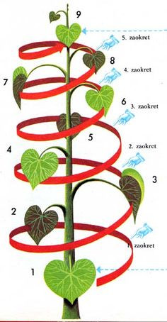 Fibonacci sequence for a plant or tree that swirls around the main stem 5 times.