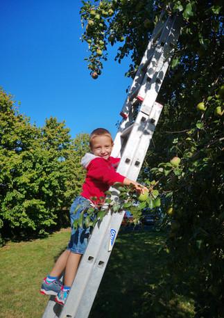 Récolte des pommes et des poires du verger - 2020