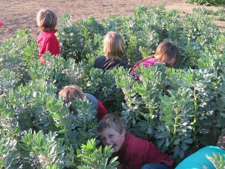Hide and seek in the broadbeans
