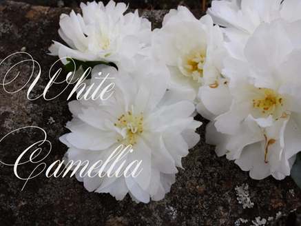WHITE CAMELLIAS - STYLING MAGAZINE FLOWERS