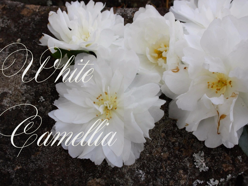 WHITE CAMELLIAS - STYLING MAGAZINE FLOWERS