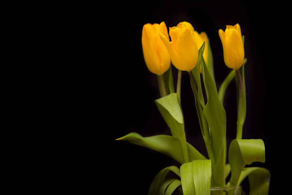 Yellow tulips on a dark background.jpg