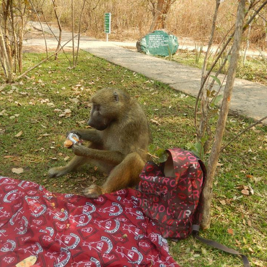 A cheeky chap who joined our picnic at Victoria Falls!