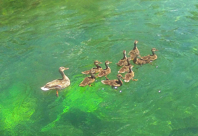 DucksRiver2014.jpg