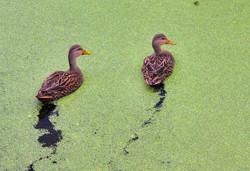 DucksonPond.jpg