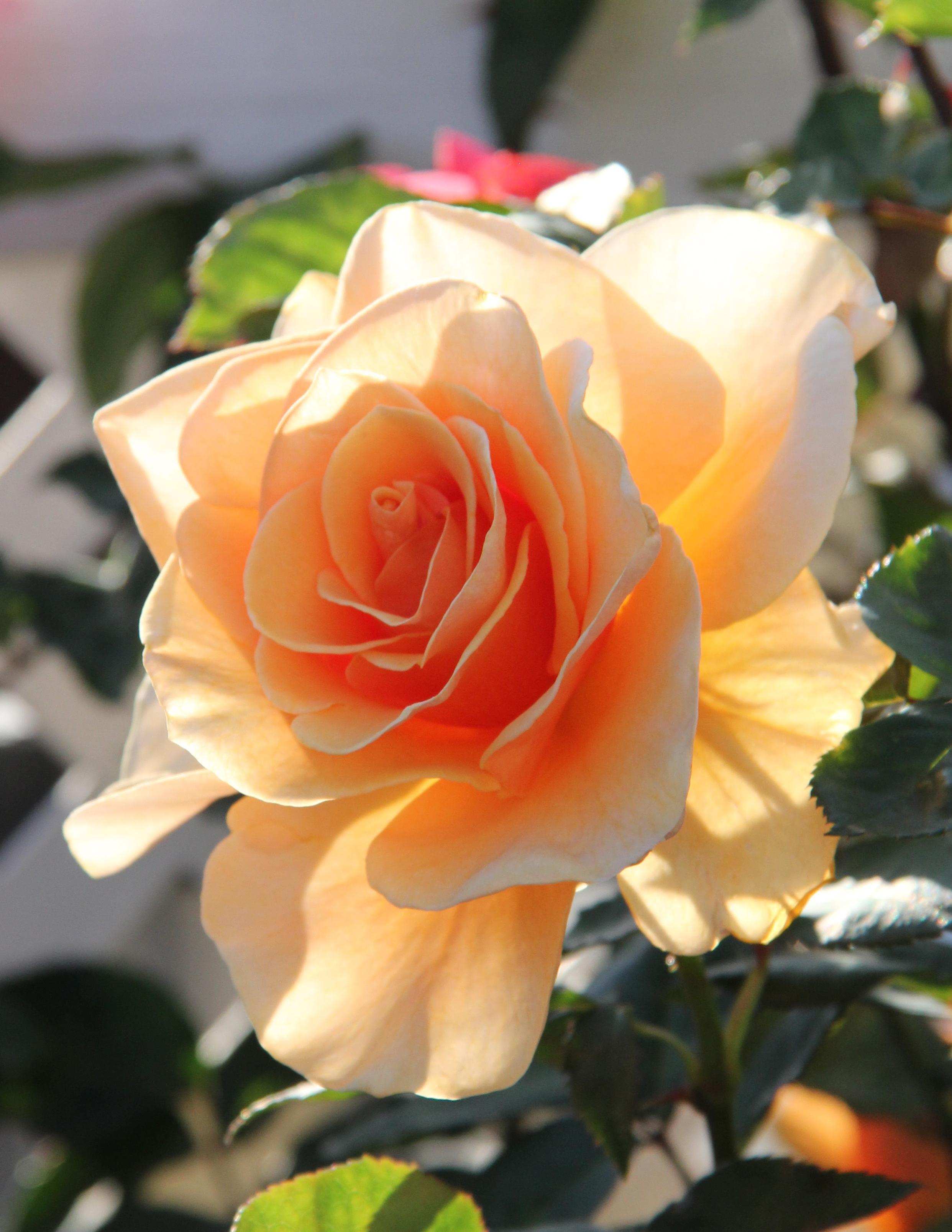 Roseorange12.jpg
