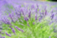 lavender-field-1595592_640.jpg