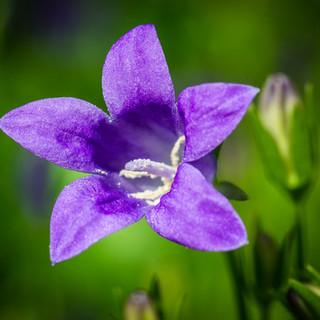bluebells-1429817_1280.jpg