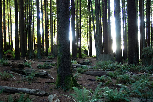 Forest Love - Muir Woods, California