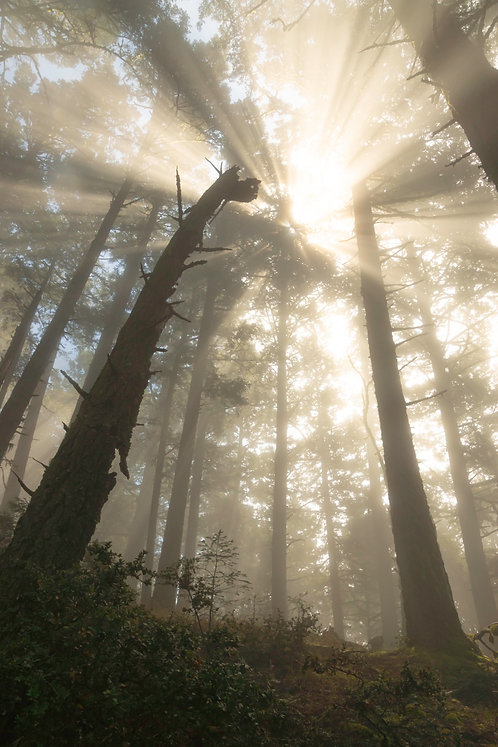 Hallelujah - Muir Woods, Marin County,California