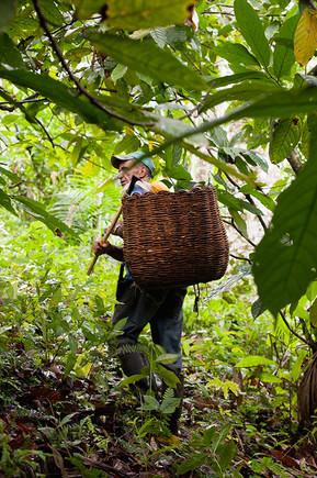 Cacao Cabruca in Brasil