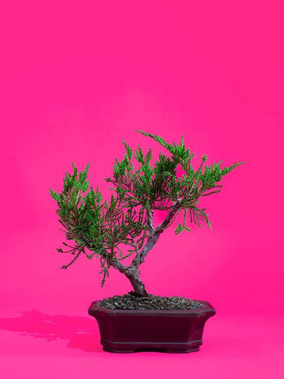 Bonsai III