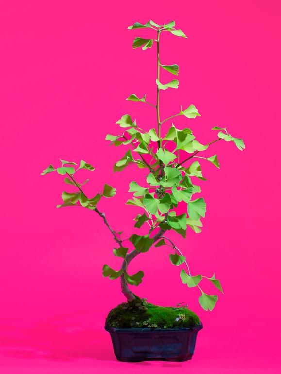 Bonsai IV