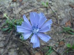 chicorée_fleur.JPG