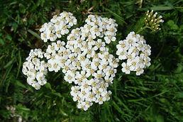 achillée_fleurs.JPG