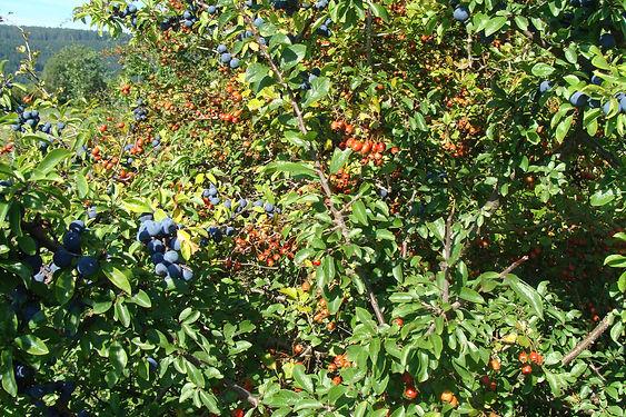 buissons de baies 3.JPG