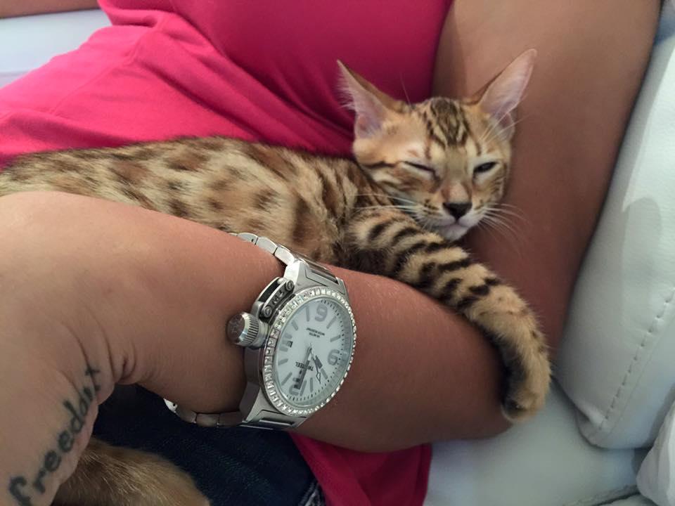 Gato Bengali Mexico