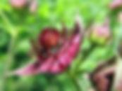 Mariteszalites.lv priežu pumpuru tēja