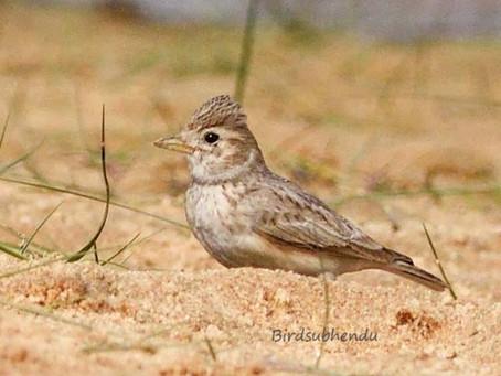 Birding At Barsul, Burdwan (Subhendu)