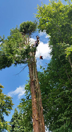 arboriculture in practice, Ian Longstaff, pictured at work up a tree