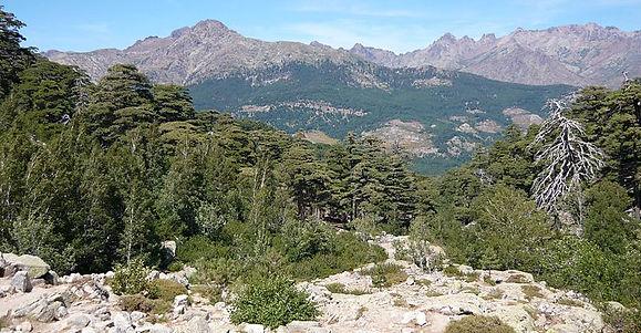 800px-Pinus_laricio_im_Forêt_de_Valdo-Ni