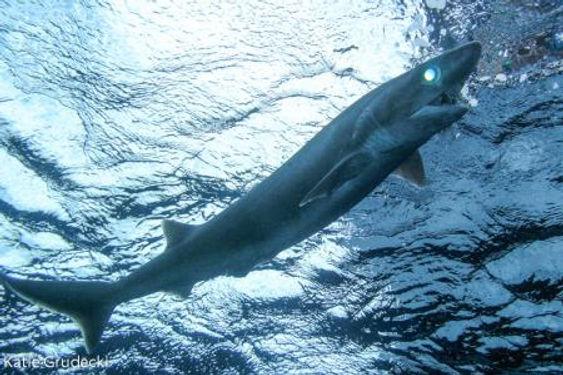 BIGEYE SIXGILL SHARK