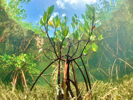 THE MAGIC OF MANGROVES - by PI Clemency White
