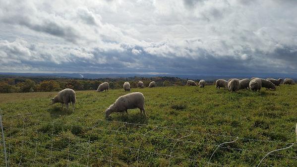 Signal Rock Farm sheep grazing
