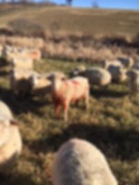Signal Rock Farm Ram Breeding
