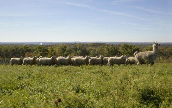 signal rock farm lambs fall grazing