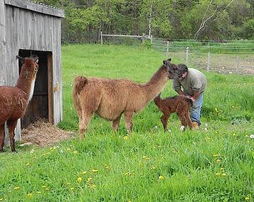Signa Rock Farm Llama