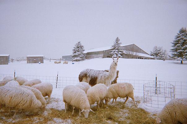 Signal Rock Farm Llama Wool
