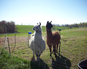 Signal Rock Farm Llama
