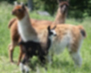 Signal Rock Farm Llamas
