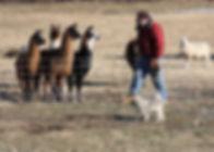 signal rock farm grass fed lamb